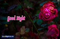 Good Night Rose Wallpaper Hd